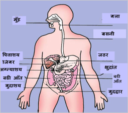 digestive-system-position